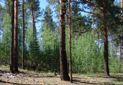 自然再生したアカマツ林